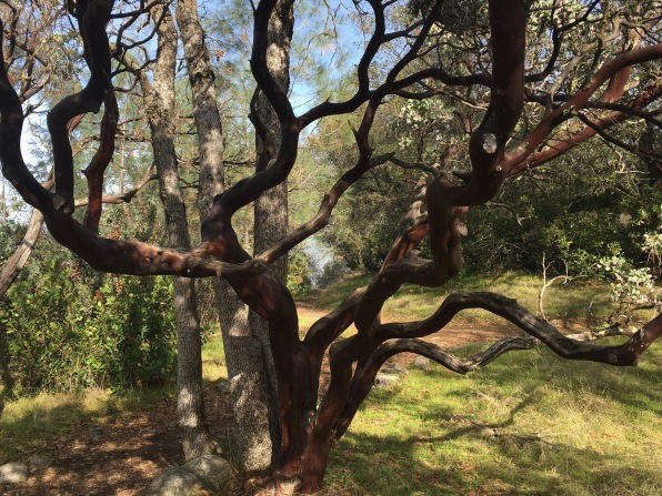Madrone Tree California